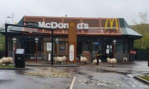Las ovejas visitan McDonald's en Ebbw Vale, Gales.