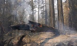 Una secuoya caída se quema en el parque estatal Big Basin Redwoods el lunes.