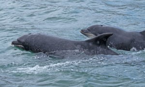 Delfines nariz de botella en la costa de Yorkshire.
