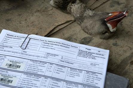 Un ganso disparado por un cazador se encuentra cerca de una tarjeta utilizada para documentar muestras.