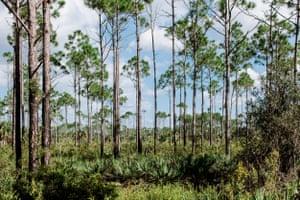 Saw palmetto crece de forma silvestre en los pastizales secos y bosques planos de Florida y gran parte del sur de los Estados Unidos.