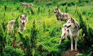 Lobo gris euroasiático en un parque de vida silvestre en Escocia