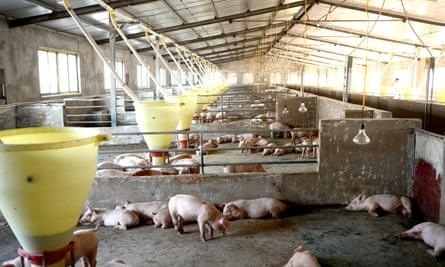 Granja de cerdos en la provincia china de Anhui. Si las nuevas tecnologías como FRT se vuelven demasiado caras para los pequeños agricultores, solo unos pocos actores controlarán el capital agrícola.