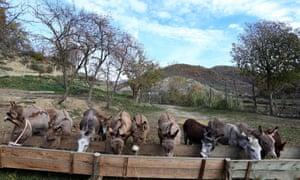 Los burros mascan heno felizmente mientras los clientes acuden en masa a comprar su leche, un producto de nicho que atrae a aquellos que creen en sus beneficios para la salud.
