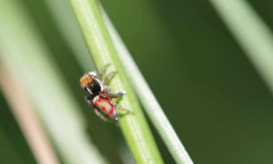 Un macho de araña pavo real común en un jardín de Victoria.