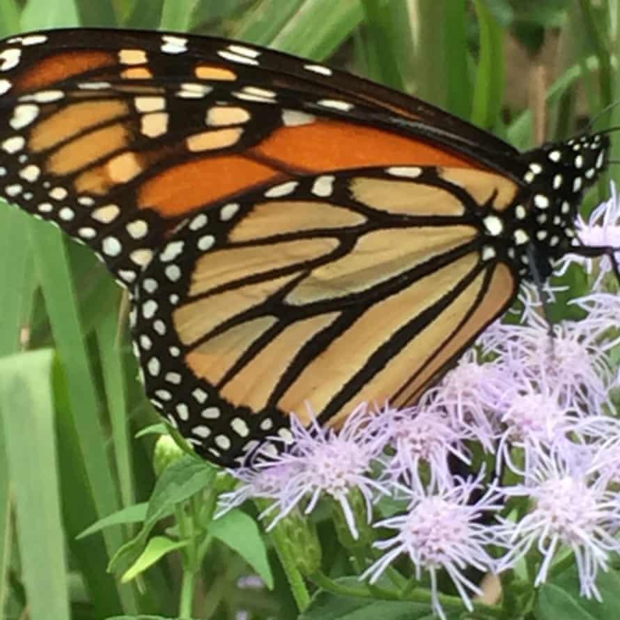 Una mariposa monarca en el jardín de Silvia Gederberg en Houston, Texas.