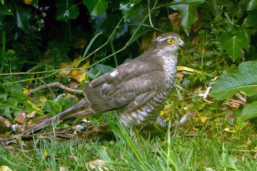 Se ve un halcón en el York Garden de Jean McKendree.
