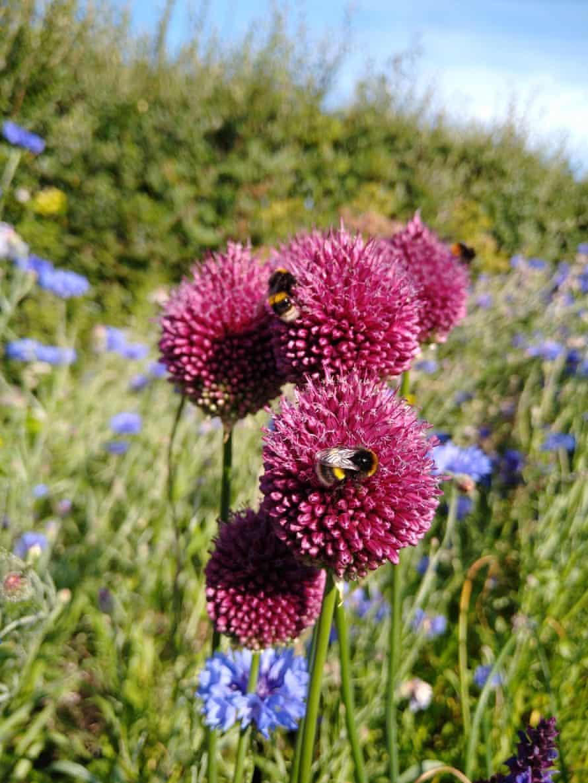 Flores y abejas en el jardín de Pippa Browning.