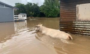 Ganado en inundación