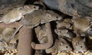 Los ratones corren alrededor del grano almacenado en una granja cerca de Tottenham, Australia.